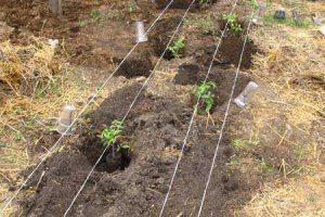 посадили помидоры