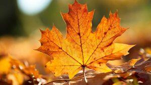 листок клёна