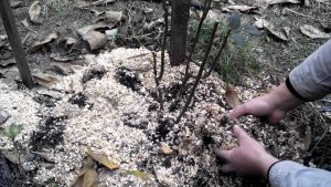 мульчирование груши осенью