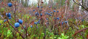 голубика в лесу