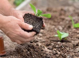 корневая система рассады капусты