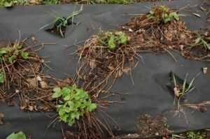 кусты клубники весной