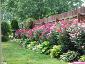 роза в саду