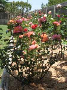 розы в опилках